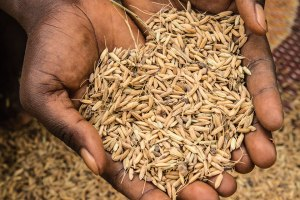 Mariama gleans rice grains left over by others