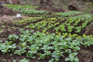 Vegetable garden at Tutu