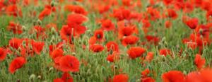 Red poppies - wide screen shot