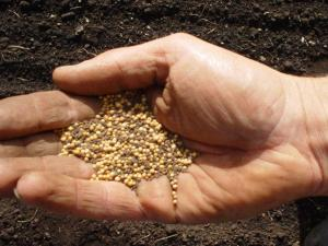 Mustard Seed #1 - in hand
